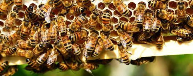Пчелите не умират сами